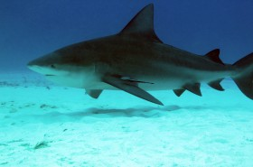 Bull Shark Diving in Fiji